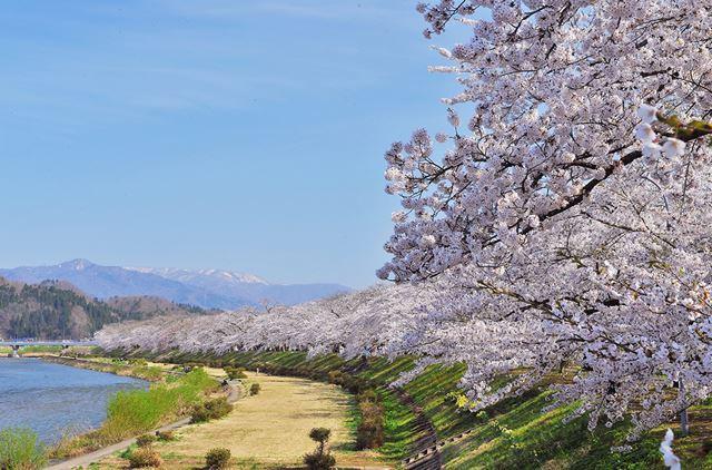 秋田県仙北市・桧木内川堤(ひのきないがわつつみ)の桜