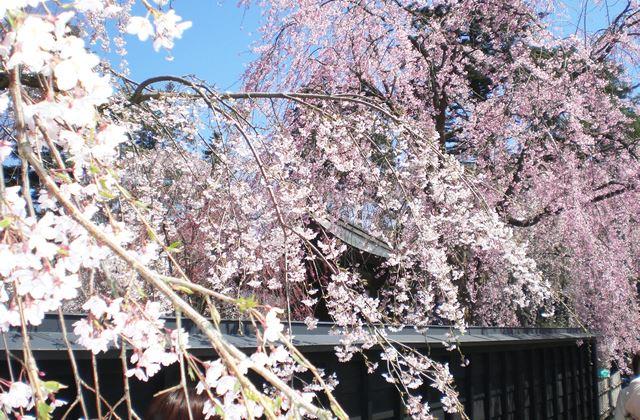 秋田県角館(かくのだて)武家屋敷の桜