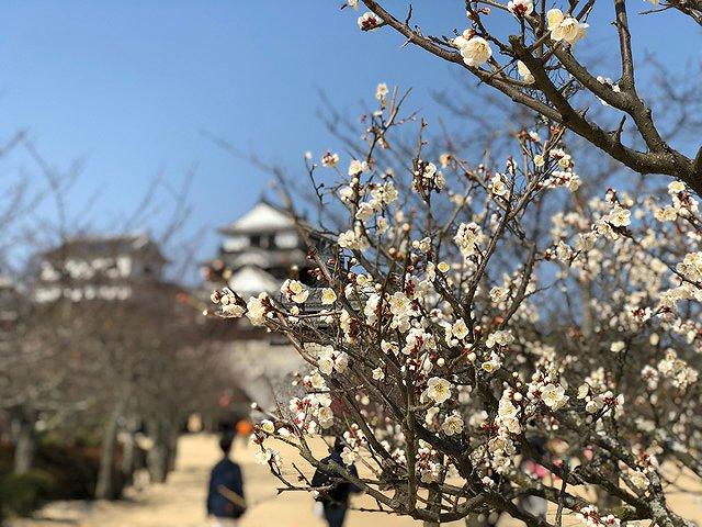 愛媛県 松山城 白梅