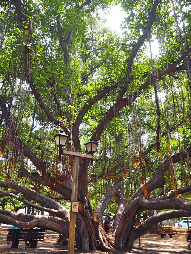 マウイ島 バニヤンツリー