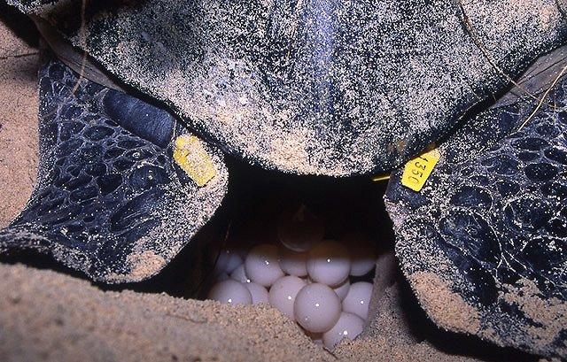 小笠原 ウミガメの産卵